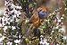 Stipiturus malachurus - Southwest National Park.jpg