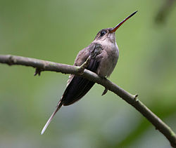 Straight-billed Hermit (Phaethornis bourcieri).jpg
