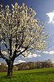 Streuobstwiese Kirschbluete Jusi Schwaebische Alb.jpg