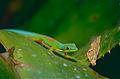 Striped Day Gecko (Phelsuma lineata) (10328119034).jpg