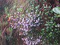 Strobilanthes Kunthiana - Neelakurinji at Mannavan Shola, Anamudi Shola National Park, Kerala (2).jpg