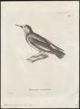 Sturnus cineraceus - 1700-1880 - Print - Iconographia Zoologica - Special Collections University of Amsterdam - UBA01 IZ15800087.tif
