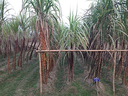 Sugarcane cultivation in Bangladesh Sugarcane Research Institute
