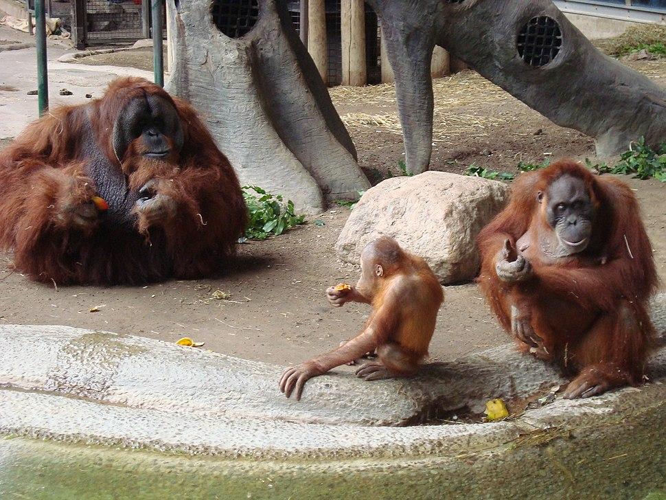 Sumatran orangutan family in Toronto Zoo