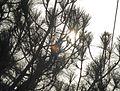 Sun shining through the Leaves in Murree.JPG