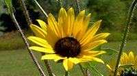 File:Sunflower - Arroyo Seco- New Mexico- United States.webm