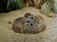 Suricata suricatta in Tiergarten Schönbrunn - 0021.jpg