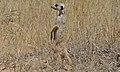 Suricate (Suricata suricata) (6537772583).jpg
