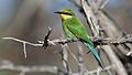 Swallow-tailed bee-eater, Merops hirundineus, at Kgalagadi Transfrontier Park, Northern Cape, South Africa (33691949614).jpg