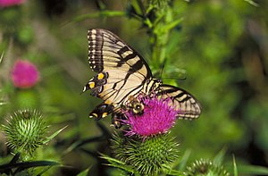 Swallowtail and Bumblebee on thistle.JPG