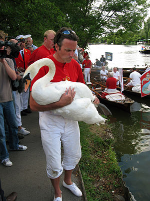 Swan Upping - Image: Swan upping at Henley