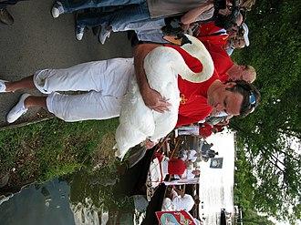 Swan Upping - Image: Swan upping at Henley