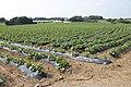 Sweet potato field in Namegata, Ibaraki 07.jpg