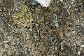 Syntypistis cyanea (24332293716).jpg
