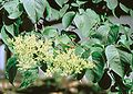 Syringa reticulata USDA2.jpg