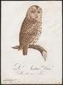 Syrnium aluco - 1800-1812 - Print - Iconographia Zoologica - Special Collections University of Amsterdam - UBA01 IZ18400143.tif