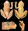 Systematics-of-treefrogs-of-the-Hypsiboas-calcaratus-and-Hypsiboas-fasciatus-species-complex-(Anura-ZooKeys-370-001-g012.jpg