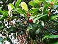 Syzygium sandwicense (4748986657).jpg