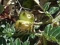 T.terrestris-fruit-1.jpg