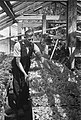Tabaksplanten West Friesland, Bestanddeelnr 901-7937.jpg