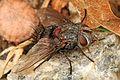 Tachinid - Leschenaultia species, Occoquan Bay National Wildlife Refuge, Woodbridge, Virginia.jpg