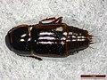Tachinus corticinus (28286387737).jpg