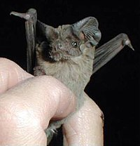 Closeup of Mexican free-tailed bat