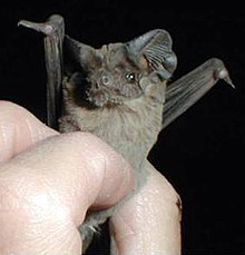 A researcher holds a Mexican free-tailed bat