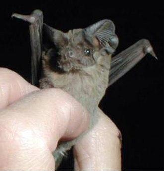 Mexican free-tailed bat - Image: Tadarida brasiliensis