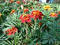 Tagetes patula in bd 03.jpg