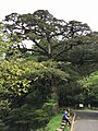 Taiwan hemlock tree by the roadside in Yushan National Park.jpg