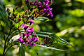 Tall ironweed (25137682634).jpg