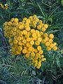 Tanacetum vulgare (4820739380).jpg