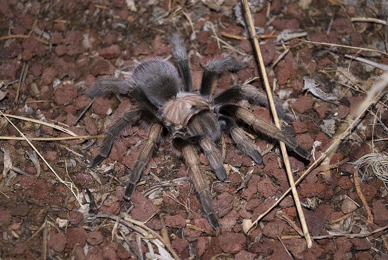 File:Tarantula (6009354501).jpg