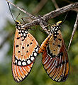 Tawny Coster (Acraea terpsicore) mating in Narshapur, AP W IMG 0912.jpg