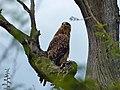 Tawny Eagle (Aquila rapax) (14014826092).jpg