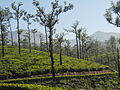 Tea garden at TopSlip - 7.jpeg