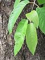 Terminalia chebula - Myrobalan - WikiSangamotsavam 2018, Kottappuram, Kodungalloor (4).jpg