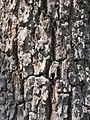Terminalia crenulata bark at Kannavam RF (6).jpg