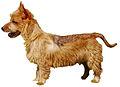 Terrier Australien.jpg