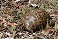 Testudo graeca - Mediterranean Spur-thighed Tortoise.jpg