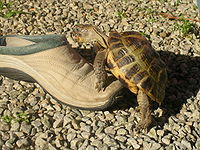 Testudo horsfieldii mating with a shoe.jpg