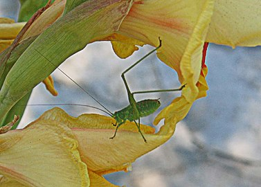 Tettigonia-viridissima
