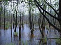 Teufelsbruch swamp with blooming Utricularia vulgaris and rain 04.jpg