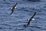 Thalassarche chrysostoma -Southern Ocean, Drakes Passage -flying-8 (1).jpg