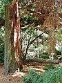 Tharandt - Forstbotanischer Garten, Lawsons Scheinzypresse.jpg