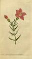 The Botanical Magazine, Plate 37 (Volume 2, 1788).png