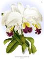 The Orchid Album-01-0014-0003-Cattleya Mendelii.png