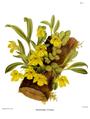 The Orchid Album-01-0026-0007-Promenaea citrina.png
