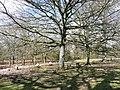 The Royal Oaks - geograph.org.uk - 743667.jpg